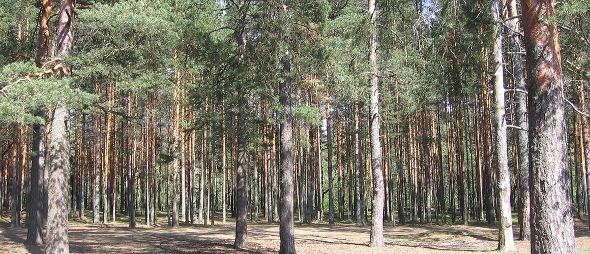 сосновый-лес-слайдер