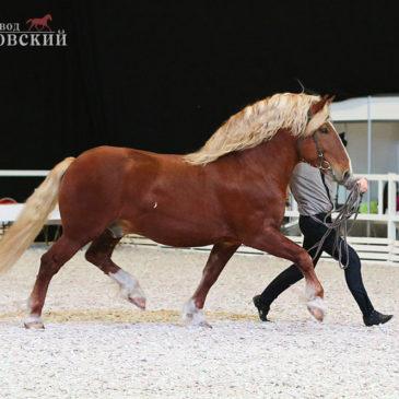 Конные бега в Калгановке. Заезды лошадей рысистых пород.